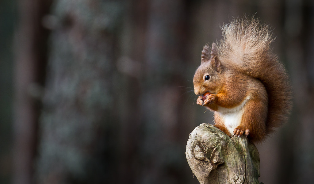 Photograph Red Squirrel with Nut by Kerry Howcroft on 500px