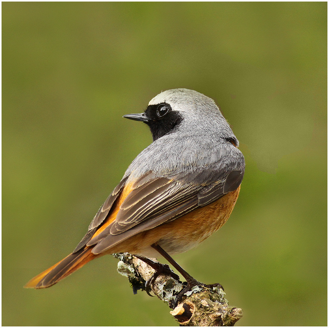 Photograph Redstart by Alan Coles on 500px