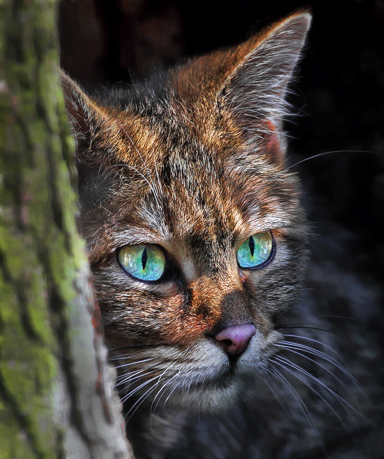 Photograph European Wildcat by Klaus Wiese on 500px