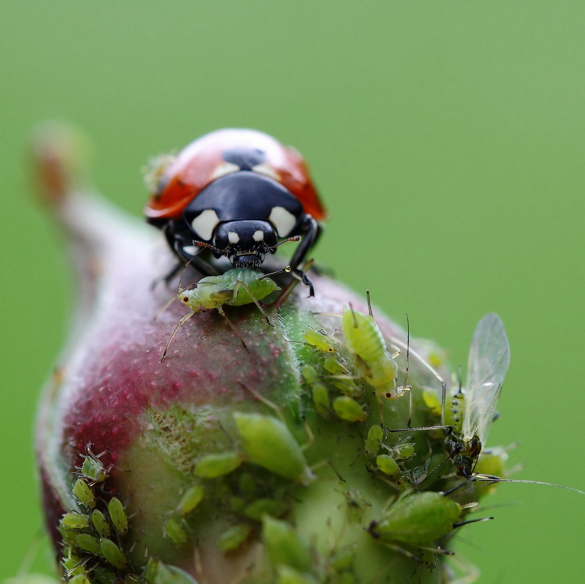Photograph Aphids for the meal  by Sylvie Houtmann on 500px