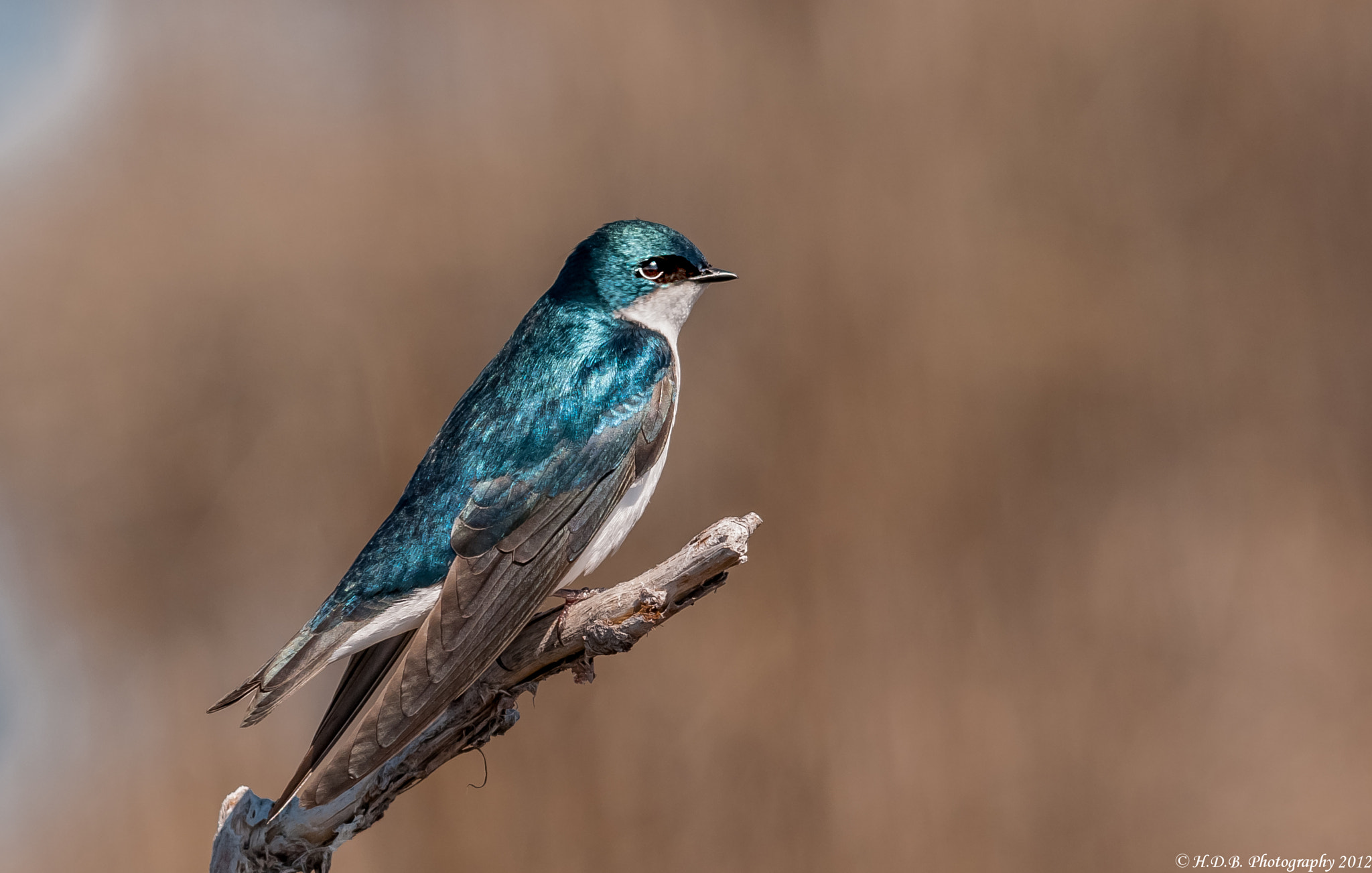 Photograph Male Tree Swallow by Harold Begun on 500px