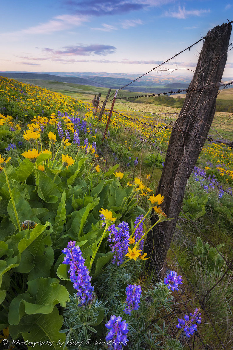 Photograph More Lupines and Balsomroot by Gary Weathers on 500px