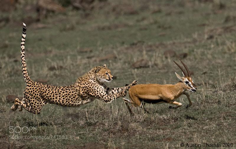 Photograph Cheetah chasing Gazelle by Austin Thomas on 500px