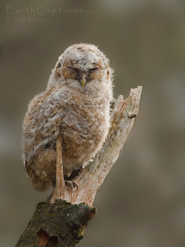 Photograph Young Tawny owl by Sue Berry on 500px