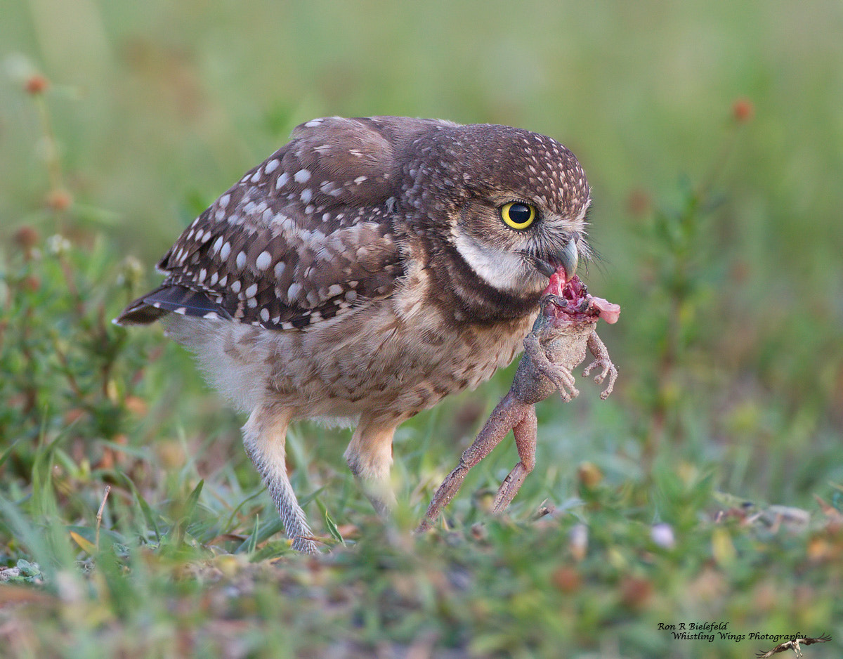 Photograph Stretch - Burrowing Owl by Ron Bielefeld on 500px