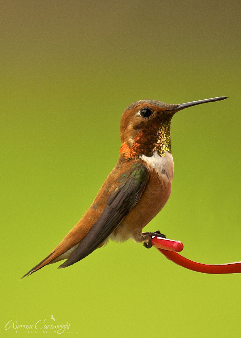 Photograph Rufous Hummingbird by Warren Cartwright on 500px