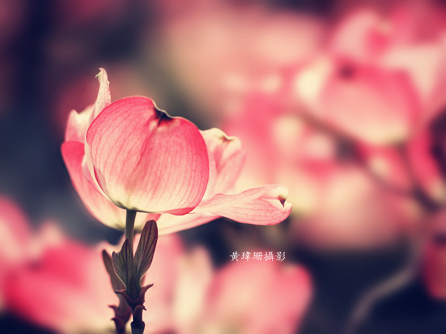 Dogwoods 02 by Wei-San Ooi on 500px