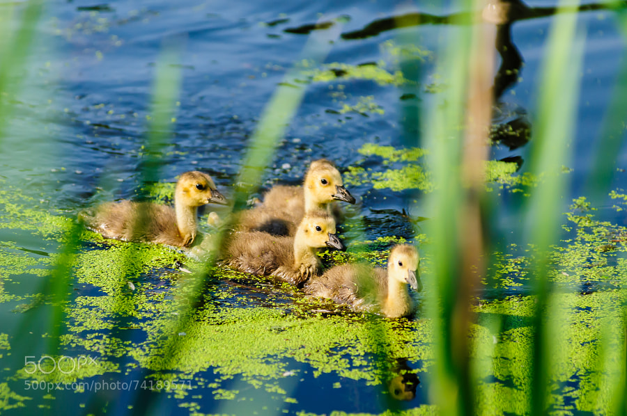 The mother Goose drew the goslings into hiding from the Swan