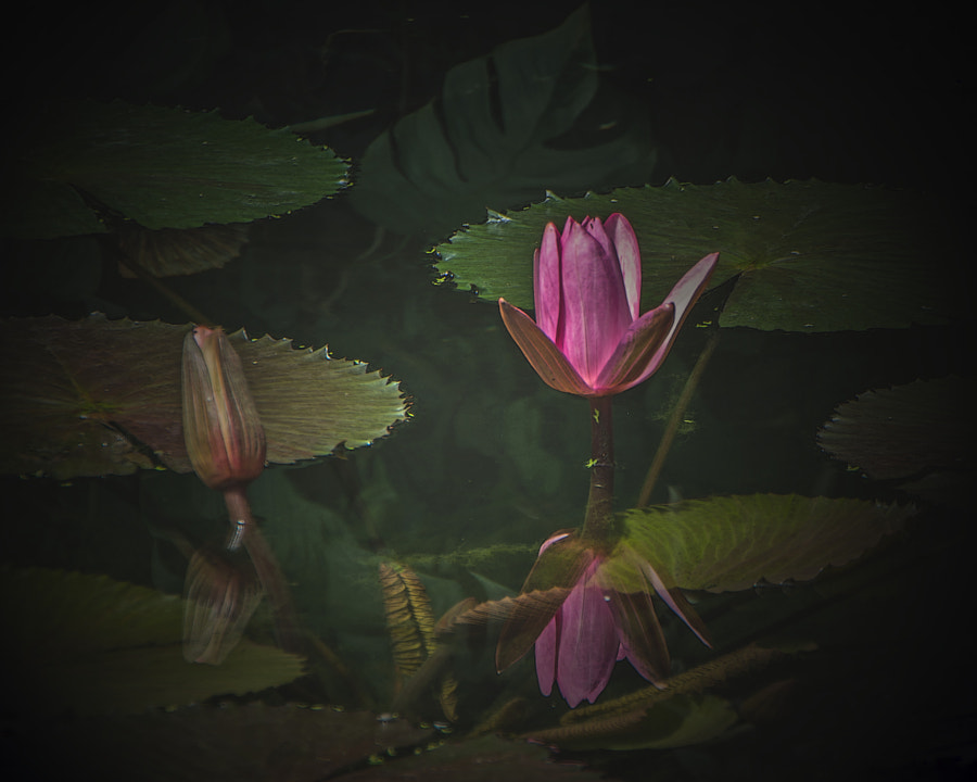Reflections; mirror; I; ego; Jacques Lacan.  Those who know my work will know I often link my floral work to the human condition.  On the one hand this is a duo of water lilies; on the other, an interesting stage of development!! Dark surround, I feel. Back to the nonsense at the weekend, I promise!! Or, you are forgiven if you think this is nonsense:))