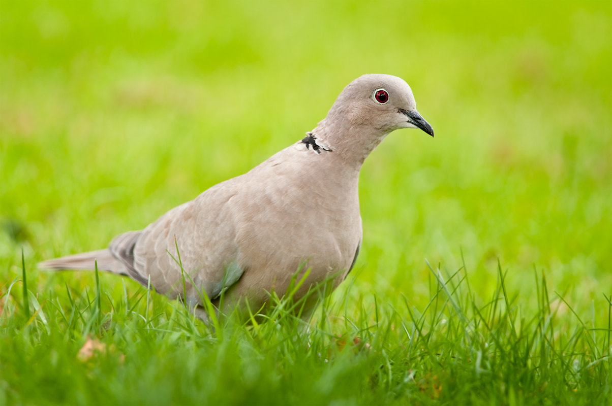 Photograph Collared Dove by Hogan  on 500px