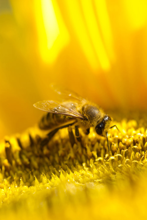 Photograph Bee on sunflower by Benjamin Nocke on 500px