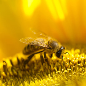 Bee on sunflower by Benjamin Nocke (huntington)) on 500px.com