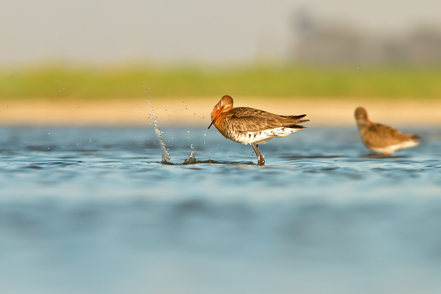 Photograph Limosa Limosa by Alcide Pece on 500px