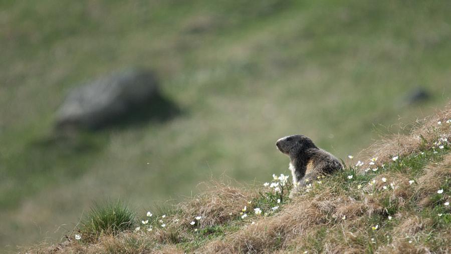 Alpine Marmot of  Val d'Ayas