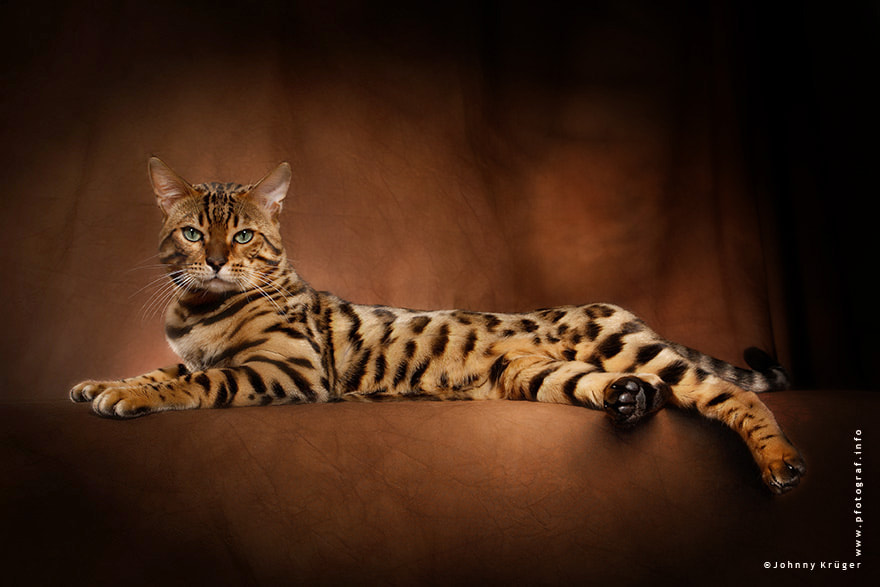 Photograph Bengal Cat by Johnny Krüger on 500px
