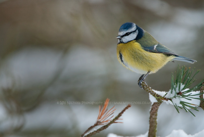 Photograph Blue Tit by Will Nicholls on 500px