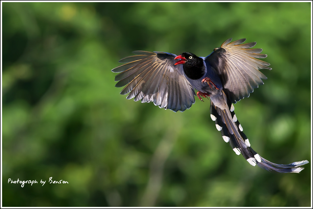 Photograph FORMOSAN BLUE MAGPIE by benson lin on 500px