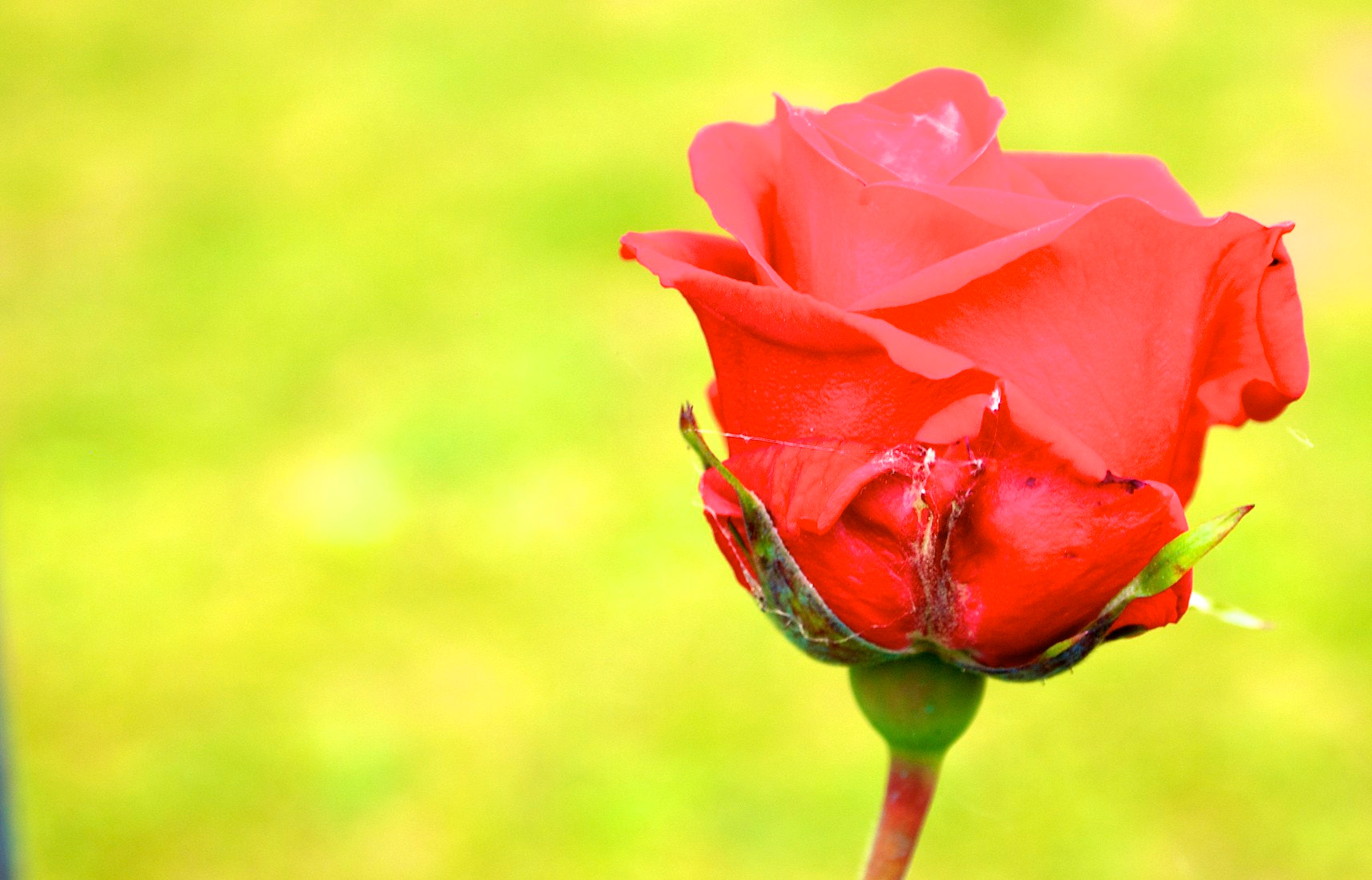 Photograph raw rose by Clay Bass on 500px