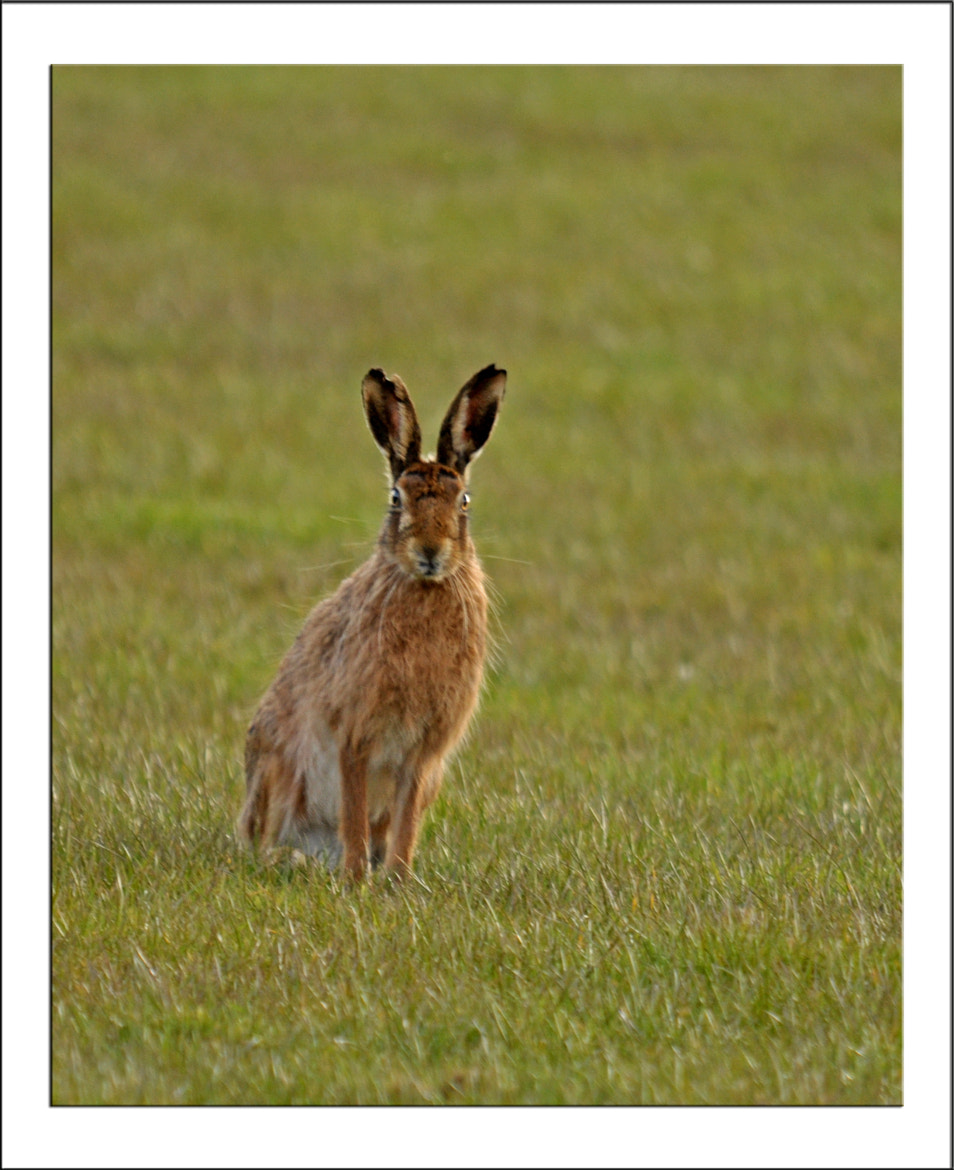 Photograph Late evening hare by Graham Turner on 500px
