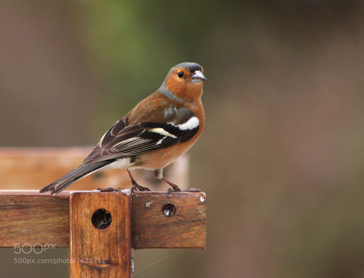 Photograph Chaffinch by Maja Pulczynska-Perrichon on 500px