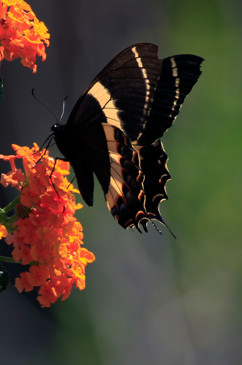 Photograph Butterfy by Cristobal Garciaferro Rubio on 500px