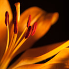 Close up shot of a lilly using light painting.