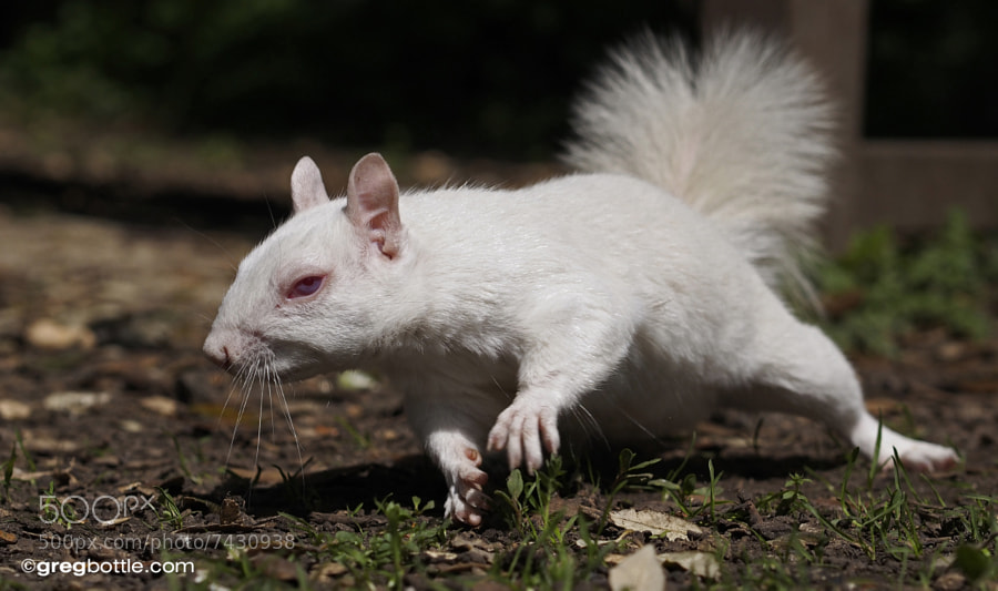 Photograph White squirrel running for nut by Greg Bottle on 500px