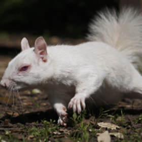 White squirrel running for nut by Greg Bottle (sharkhunter)) on 500px.com