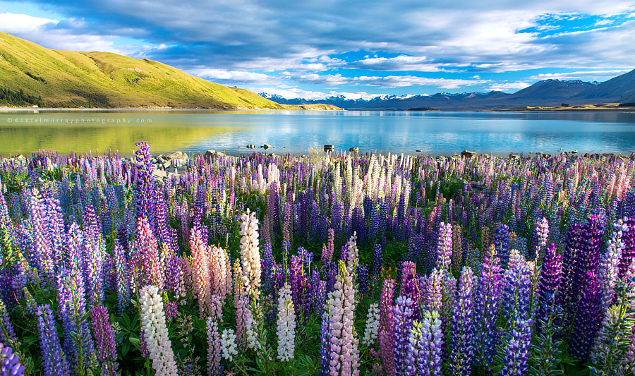 tekapo lupins by Daniel Murray on 500px.com