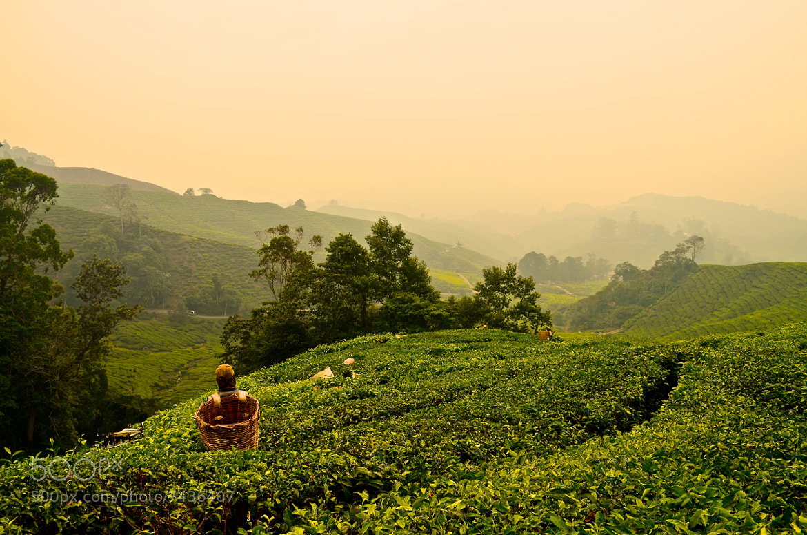 Photograph Cameron Highland Tea Plantation by Thom Bartley on 500px
