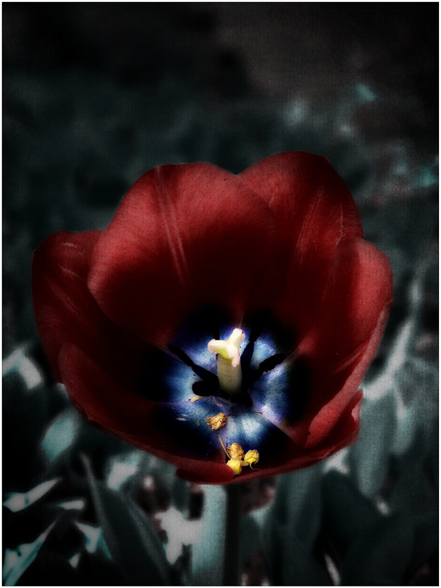 Photograph Deadly tulip by Tracy Munson on 500px