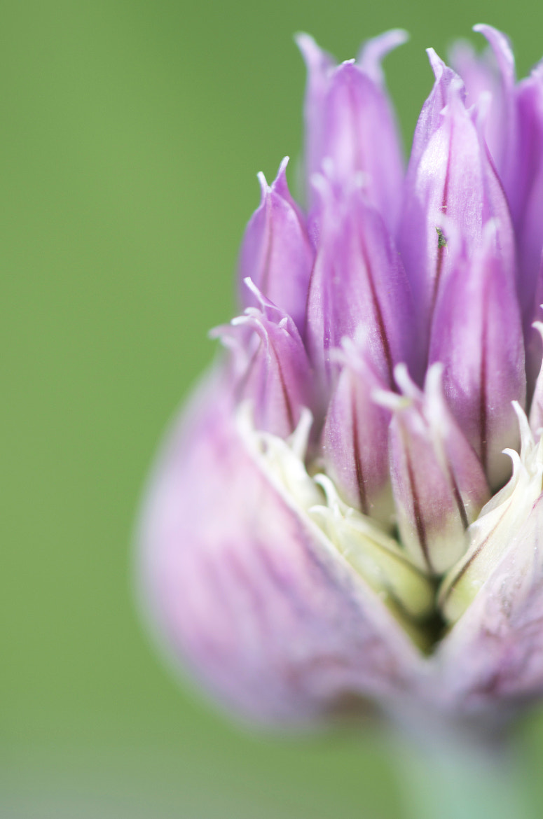 Photograph Allium by Bill Lynch on 500px
