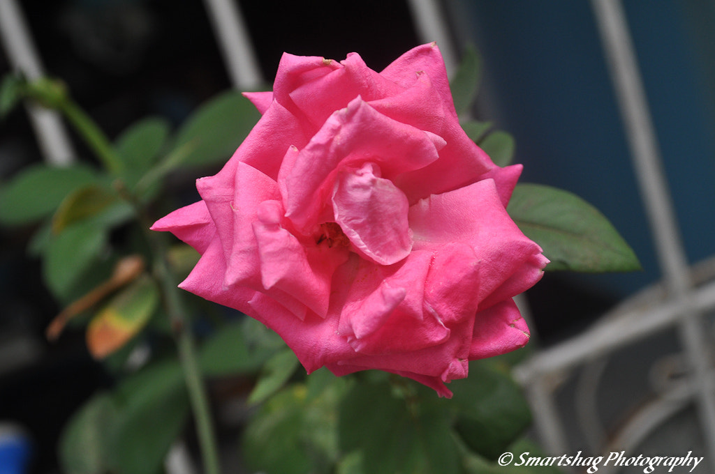 Photograph Pink Rose by Sheldon Green on 500px