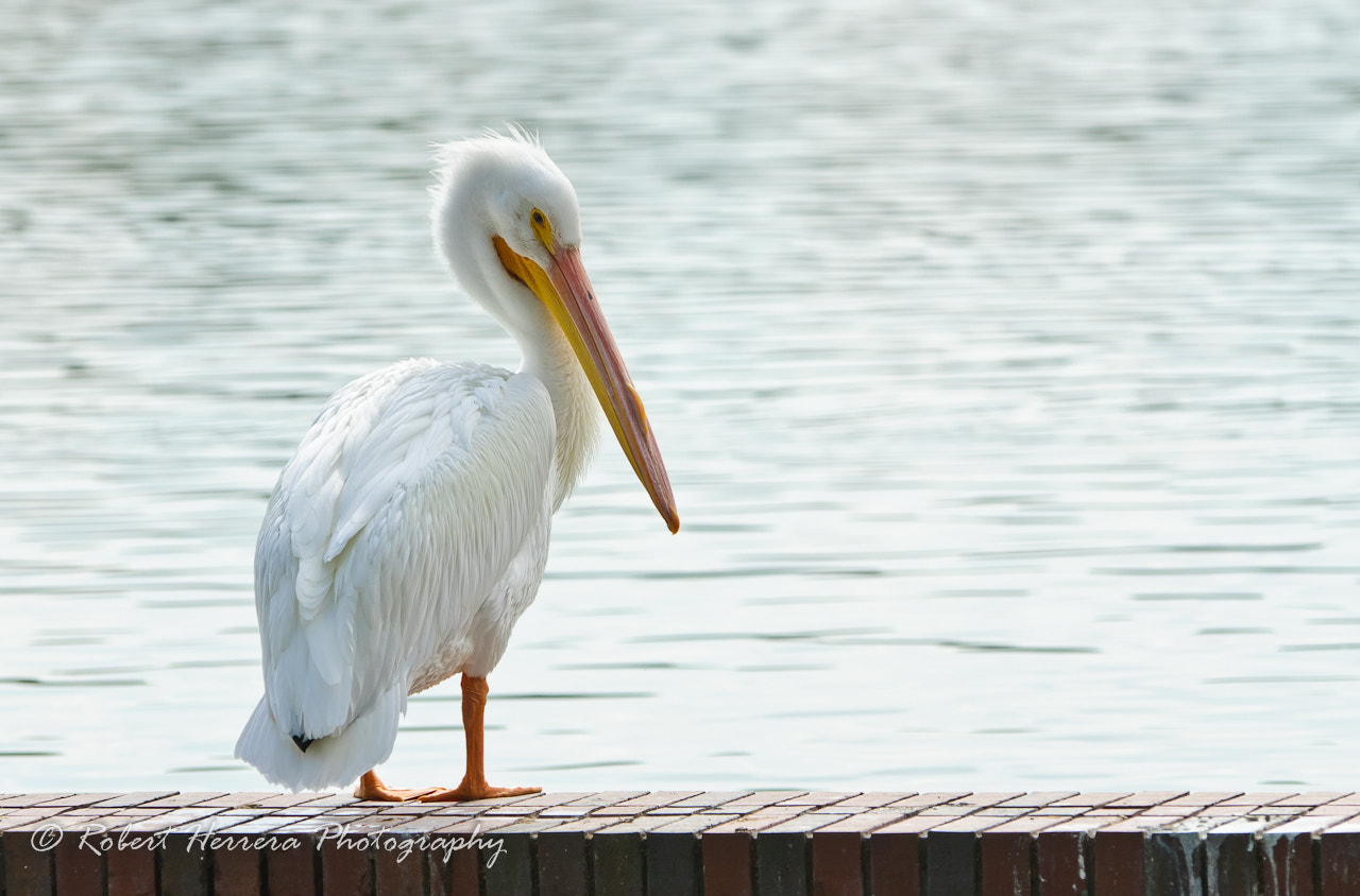 Photograph Suspicious Pelican by Rob H on 500px