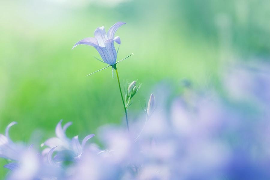 Creeping Bellflower (Campanula rapunculoides) by Loek Gerris on 500px.com