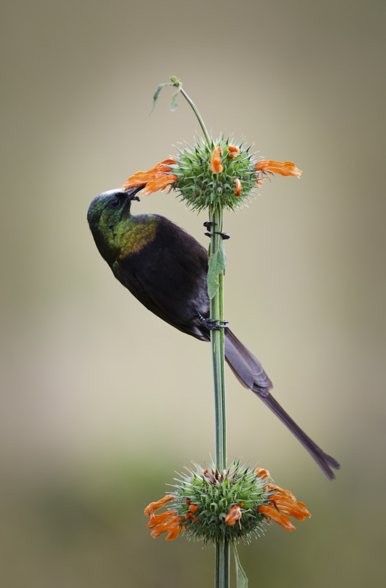 Photograph Sunbird by Luke Millward on 500px