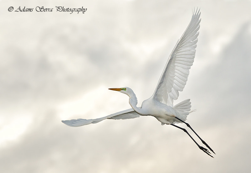 Photograph Great Egret by Adams Serra on 500px