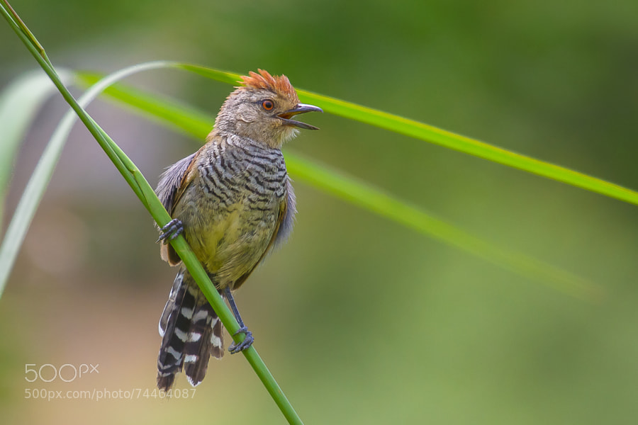 Photograph Rufous-capped Antshrike by Bertrando Campos on 500px