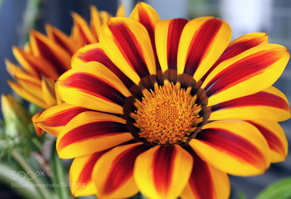 Photograph Gerbera by Iva Mihalic on 500px