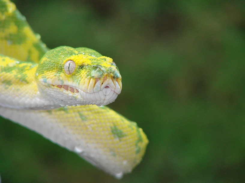 Photograph green tree python by George  Te on 500px