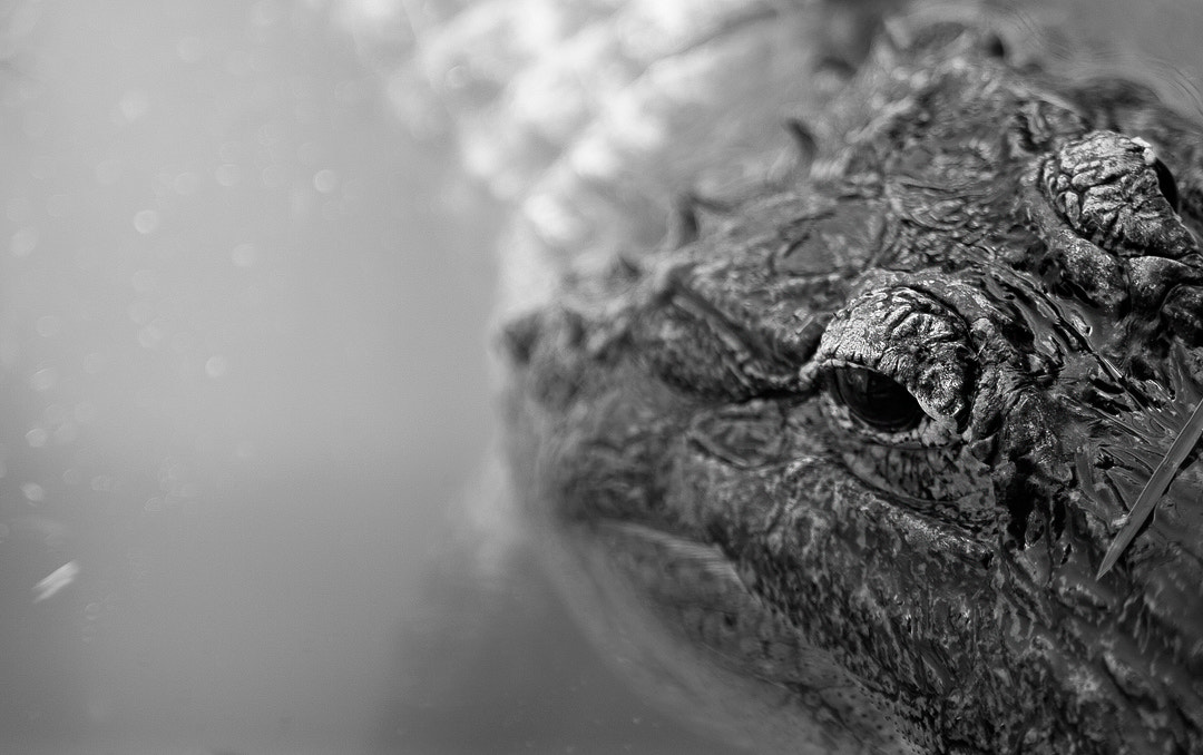Photograph Florida Gator by Raul Photo on 500px