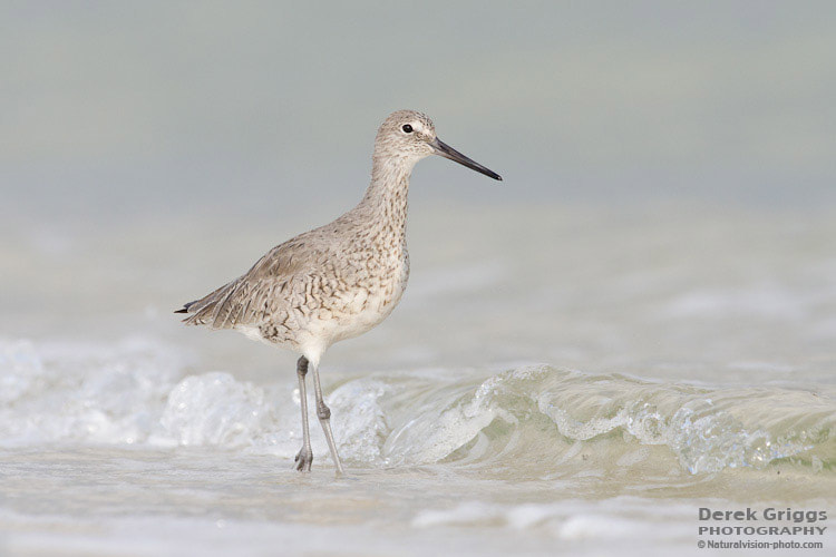 Photograph Willet by Derek Griggs on 500px