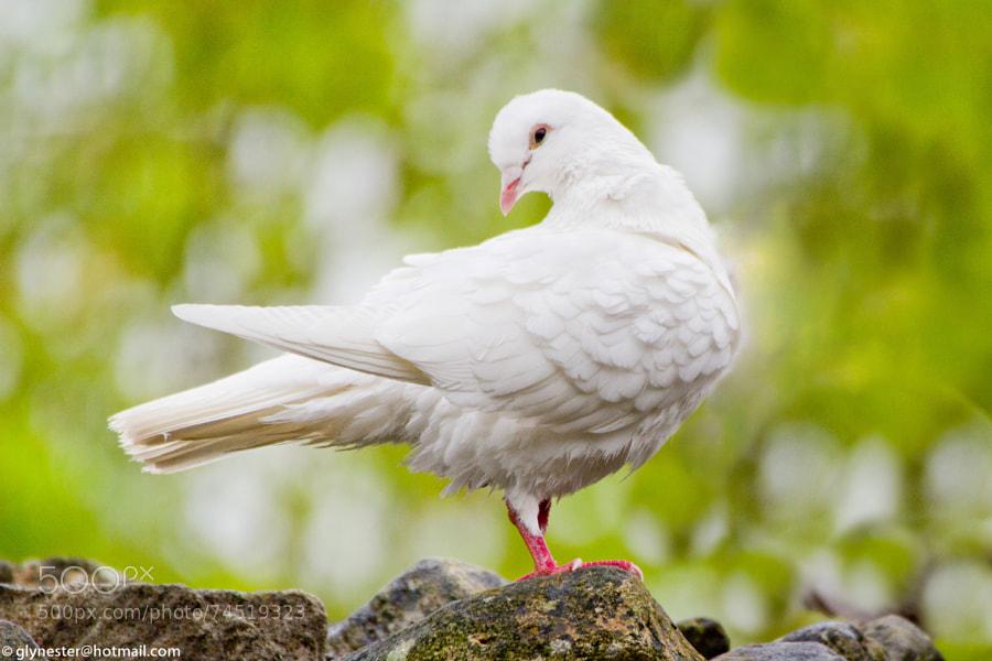White pigeon at Whittington Castle - Shropshire, UK.