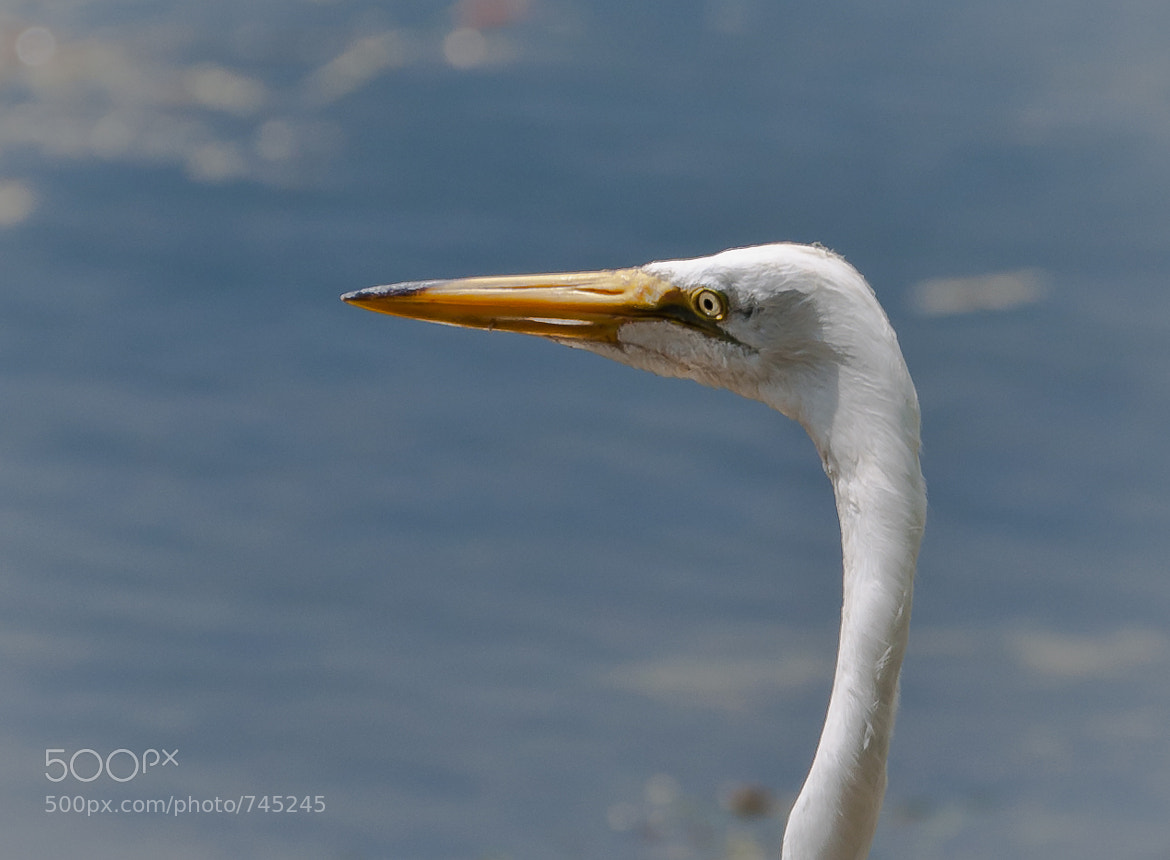 Photograph Great Egret by Sandra Velez on 500px