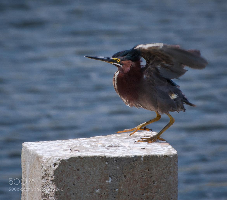 Photograph Green Heron by Sandra Velez on 500px