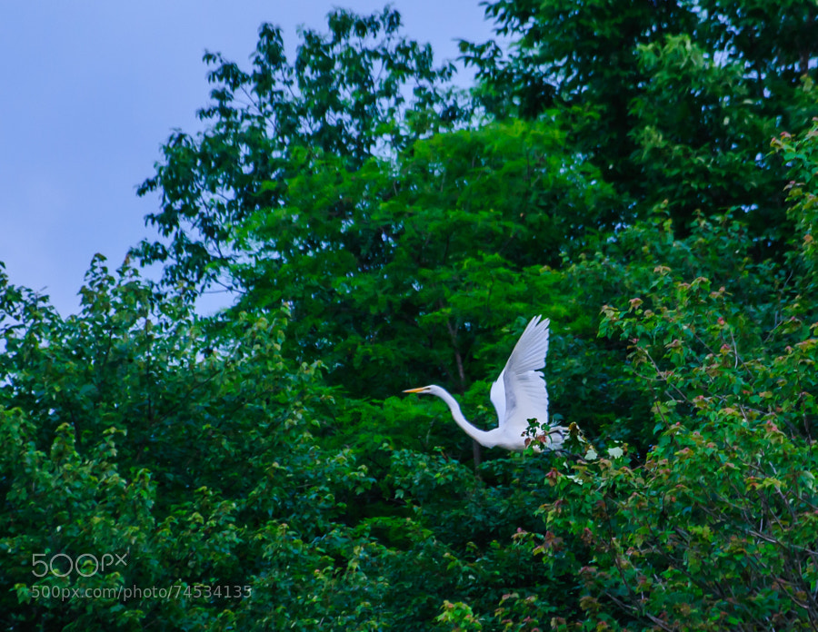 Sitting at the pond, the Egret flew into the tree, sat for awhile and then decided to fly to another place.
