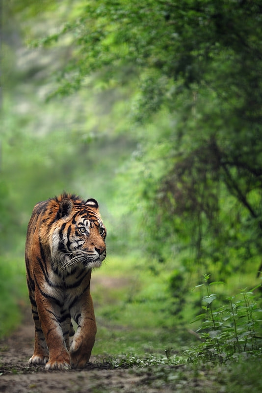 Photograph sumatra tiger ... by eric c. on 500px