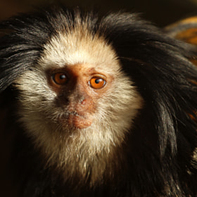 Marmoset by Alan Hinchliffe (incheye1971)) on 500px.com