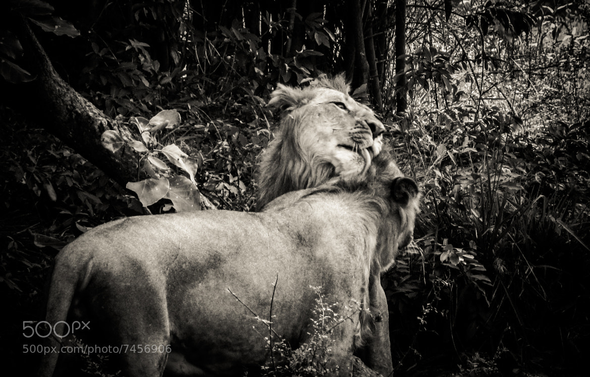 Photograph Big Cat Love by Raghu R on 500px
