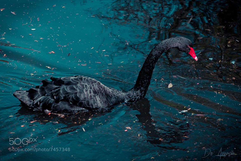 Photograph Black Swan by Damien De Assunção on 500px